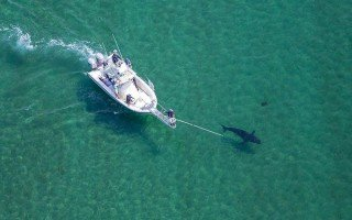 Dr. Greg Skomal and the Atlantic White Shark Conservancy continued its white shark population study. WAYNE DAVIS/ATLANTIC WHITE SHARK CONSERVANCY PHOTO 