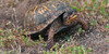 An Eastern box turtle laying eggs. JANET DIMATTIA PHOTO  (photo: Janet DiMattia)