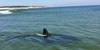 This photo by Pam King shows a great white shark just off Coast Guard Beach in Eastham. COURTESY PHOTO  (photo: Pam King)
