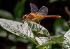 An eastern amberwing dragonfly. COURTESY PHOTO  (photo: Gerald Beetham)
