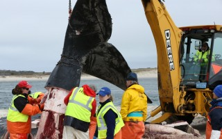 Experts examined the carcass of the right whale calf on Harding's Beach earlier this month, looking for additional clues to the cause of its death.   (photo: Courtesy IFAW)