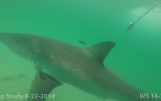 Scratch in a photo taken in 2014. ATLANTIC WHITE SHARK CONSERVANCY/MASS DMF  (photo: )