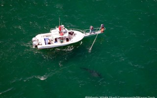 Dr. Greg Skomal and his team follow a great white shark off Nauset Beach Friday. WAYNE DAVIS PHOTO COURTESY OF ATLANTIC WHITE SHARK CONSERVANCY/MASS DIVISION OF MARINE FISHERIES  (photo: )