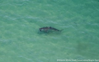 This 12-foot shark was photographed Friday by spotter pilot Wayne Davis as it attacked a gray seal. WAYNE DAVIS PHOTO/COURTESY ATLANTIC WHITE SHARK CONSERVANCY/MASS. DIVISION OF MARINE FISHERIES  (photo: )