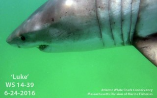 Great white shark Luke. DIVISION OF MARINE FISHERIES/ATLANTIC WHITE SHARK CONSERVANCY  (photo: )