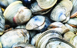 Opposition to a regulation change that would allow undersized farm-raised quahogs to be sold in Massachusetts was unanimous at a hearing held by the state division of marine fisheries in Chatham last week. JANET LEWIS PHOTO  (photo: )