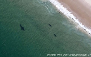 Spotter pilot Wayne Davis captured this shot of a shark stalking two seals just off shore of Monomoy Island. ATLANTIC WHITE SHARK CONSERVANCY/WAYNE DAVIS  (photo: )