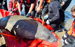Rescuers gingerly prepare the manatee to be loaded on a truck for its trip to Connecticut. IFAW/J. CUMES  (photo: IFAW/J. Cumes)