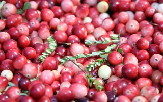 Many small-scale cranberry farms face a very small return on their investment. They're often farmed by families, like the Lathams of Brewster (pictured), who simply love the lifestyle. ALAN POLLOCK PHOTO  (photo: )