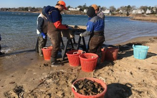 Assistant Shellfish Constable Rachel Hutchinson, AmeriCorps staffer Tom Bryson, Dan Campanaro and Kevin Zartman work on the shores of Oyster Pond culling some 25,000 oysters last week.  (photo: )