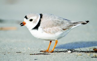 The diets of piping plovers were among the studies discussed at the Wellfleet Bay Mass Audubon's 22nd annual Cape Cod Natural History Conference at Cape Cod Community College last weekend. U.S. FISH AND WILDLIFE SERVICE PHOTO  (photo: Lamar Gore)