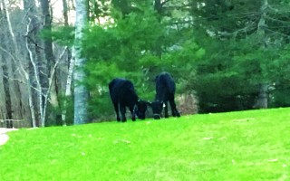 The two calves that went on the lam two months ago from Resilient Family Farm on Chatham Road 