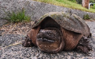 A sizable Snapping Turtle rests on the sidewalk along Route 28 in Chatham recently. Kat Szmit Photo  (photo: )