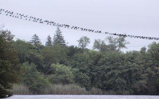 Cormorants roosting on power lines above Cedar Pond.  FILE PHOTO  (photo: William F. Galvin)