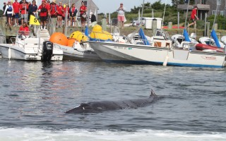 As onlookers at Stage Harbor Yacht Club watched and snapped photos, the minke whale circled in Stage Harbor Thursday morning.  ALAN POLLOCK PHOTO  (photo: Alan Pollock)
