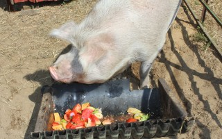 The board of health has voted to regulate piggeries in Harwich. FILE PHOTO  (photo: William F. Galvin)