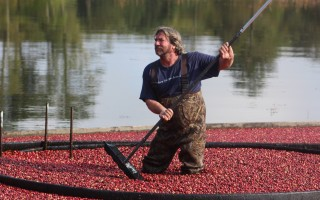 Ray Thacher gathers cranberries together. WILLIAM F. GALVIN PHOTO  (photo: )