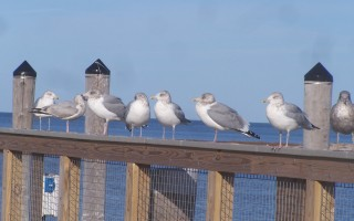 Gulls enjoy free parking at Rock Harbor last week. On Nov. 28, selectmen discussed possible non-resident parking fees here and at town landings. ED MARONEY PHOTO  (photo: )