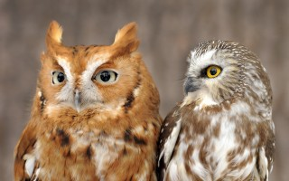 New England's littlest owls: An Eastern Screech Owl (left) and a Northern Saw-whet Owl are two of the owls that appear in an Eyes On Owls live owl program. Photo credit: Eyes On Owls. For more information check our website: eyesonowls.com or call us at 978-649-3779.  (photo: )