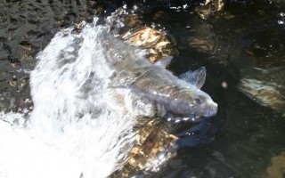 A herring cuts through a charge of water while climbing the fish ladder in the Harwich run.  FILE PHOTO  (photo: Alan Pollock)