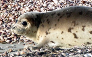 A seal pup on Red River Beach, South Harwich. FILE PHOTO  (photo: Alan Pollock)