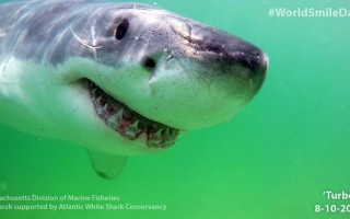 White shark Turbo was recorded passing off Marconi Beach on June 9. MASS DMF / ATLANTIC WHITE SHARK CONSERVANCY PHOTO  (photo: Courtesy Mass DMF / Atlantic White Shark Conservancy)