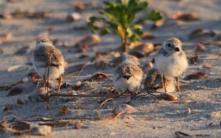Plovers at Red River Beach. KATHLEEN MAGNUSSON PHOTO  (photo: Kathleen Magnusson)