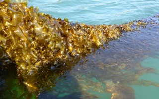 Sugar kelp.  UNIVERSITY OF MAINE  (photo: )