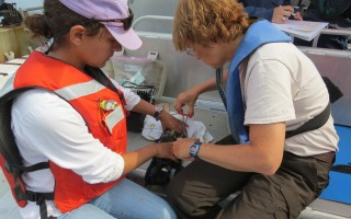 Tammy Silva from Stellwagen Bank National Marine Sanctuary (left) works with Linda Welch of the U.S. Fish and Wildlife Service to tag a shearwater. MELINDA FORIST PHOTO  (photo: Melinda Forist)