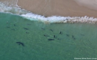 This photo taken by spotter plane pilot Wayne Davis shows sharks stalking seals just off the outer beach. Concern that sharks could follow seals into Oyster Pond prompted the town to investigate a protective barrier at the swimming beach there. WAYNE DAVIS/ATLANTIC WHITE SHARK CONSERVANCY PHOTO  (photo: Wayne W.Davis)