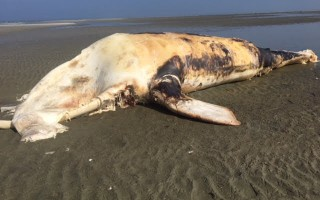 The carcass of a North American right whale washed up on Monomoy Island last week. NICHOLE NUTTALL/USFWS PHOTO 