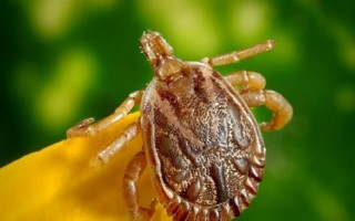 he longhorn tick has been reported in New York, and if it's not on Cape Cod already, it will be soon, says Cape Cod Cooperative Extension entomologist Larry Dapsis. COURTESY PHOTO  (photo: )