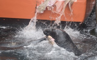 Seal jostle for scraps being washed off the stern of a fishing boat at the Chatham Fish Pier. The type of learned behavior that attracts seals to the pier and other town landings and can cause interactions with people, including bites, can be prevented, scientists say. TIM WOOD PHOTO  (photo: )