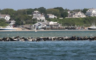 Seals hauled out on a sand bar in Chatham Harbor. ALAN POLLOCK PHOTO  (photo: )