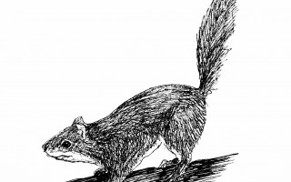 Red squirrel. MARY RICHMOND ILLUSTRATION  (photo: )