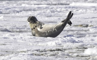 A seal on the ice at Harding's Beach Monday. KAT SZMIT PHOTO  (photo: )