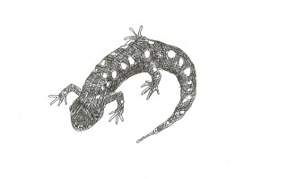 Spotted salamander. MARY RICHMOND ILLUSTRATION  (photo: )