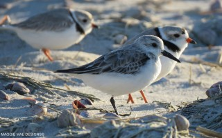 Plovers were seen at Red River Beach in Harwich last week. SALLY FAITH STEINMANN PHOTOS  (photo: )