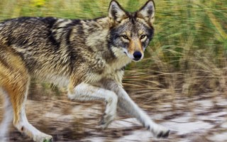 Because of public opposition, a coyote hunting has been dropped from a hunting plan for the Monomoy National Wildlife Refuge. Waterfowl hunting will be allowed, however, and will coincide with the state waterfowl hunting season. FILE PHOTO  (photo: )