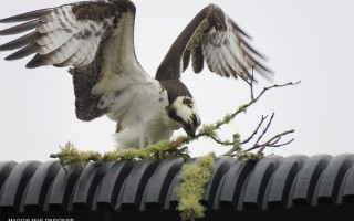 An osprey tries in vain to build a nest on a utility pole in South Harwich. COURTESY SALLY FAITH STEINMANN  (photo: Sally Faith Steinmann / Maggie Mae Designs)