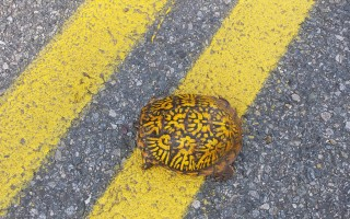 An eastern box turtle, seen crossing Chatham Road in South Harwich. The turtle was safely relocated to the side of the road, in the same direction it had been traveling. MICHAEL LACH PHOTO  (photo: Michael Lach)