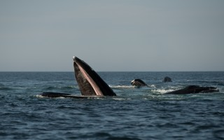 Photographer John King captured these photos of humpback whales feeding east of Chatham.  (photo: )