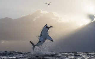 A great white shark breaches off of Seal Island in False Bay, South Africa, photographed by shark expert and wildlife photographer Chris Fallows. Fallows spoke about his time with the famed great white sharks to a sold-out crowd on Monday in Chatham at a special event presented by the Atlantic White Shark Conservancy. Fallows has launched a limited edition fine print collection representing a culmination of his career and life's work, which is available for purchase at www.chrisfallows.com. The collection features many of the most spectacular great white shark moments ever recorded. Ten percent of all sales are donated to the wildlife conservation group WildAid, which has successfully endeavored to reduce the demand for shark fins, and to the University of Miami, which engages with Fallows on various shark conservation and research projects. CHRIS FALLOWS PHOTO  (photo: )