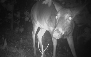 A   white-tailed deer takes a peek at the Chatham Conservation Foundation's wildlife camera.   COURTESY PHOTOS    (photo: )