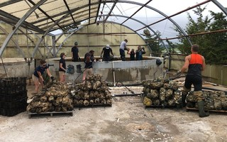 Bags of baby oysters attached to sea clam shells are removed from vats at A.R.C. in Dennis. DOREEN LEGGETT PHOTO  (photo: Doreen Leggett)