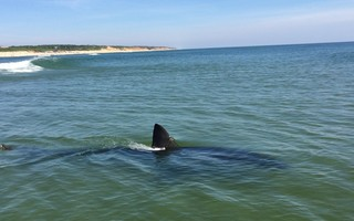 This photo by Pam King shows a great white shark just off Coast Guard Beach in Eastham. COURTESY PHOTO  (photo: )