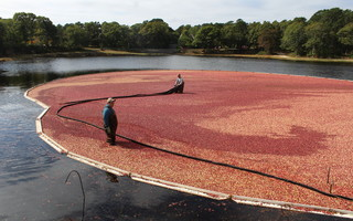 The cranberry harvest forecast for Massachusetts growers is predicting a record year, but local farmers are saying the summer heat and drought may have an impact. The harvest season will begin in a couple of weeks. CHRONICLE FILE PHOTO  (photo: )