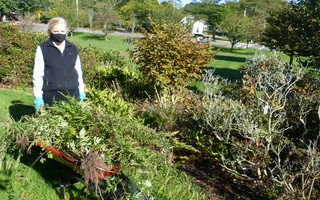 Carol Alper displayed a rich harvest of ragweed on the village green Oct. 6 during a joint clean-up effort by the Nauset Garden Club and the Orleans Improvement Association. She's president of the Club and a member of the Association. 