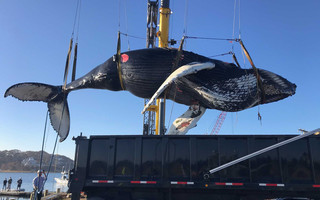 Weighing an estimated 24,000 pounds, the dead humpback was placed in the back of a truck at Old Mill Boatyard Monday. It was trucked to Bourne where crews conducted a necropsy to try and determine why it became stranded. CHATHAM HARBORMASTER PHOTO  (photo: Stuart Smith)