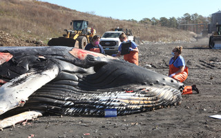 The necropsy, carried out in Bourne, failed to show any obvious signs of death. IFAW PHOTO  (photo: Courtesy IFAW)